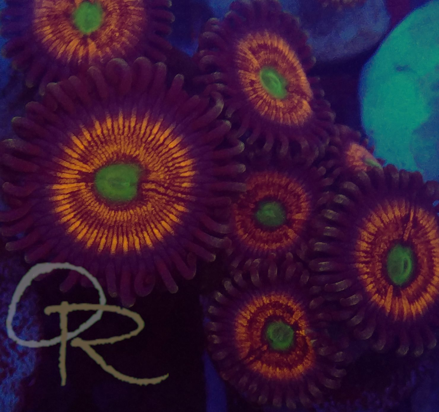 Zoanthids – Everlasting Gobstoppers