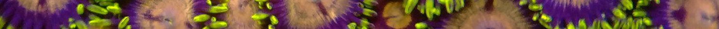 Zoanthids – Hydra Lady Dragon Eyes