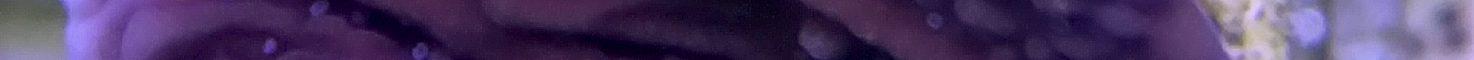 Montipora capricornis – Purple