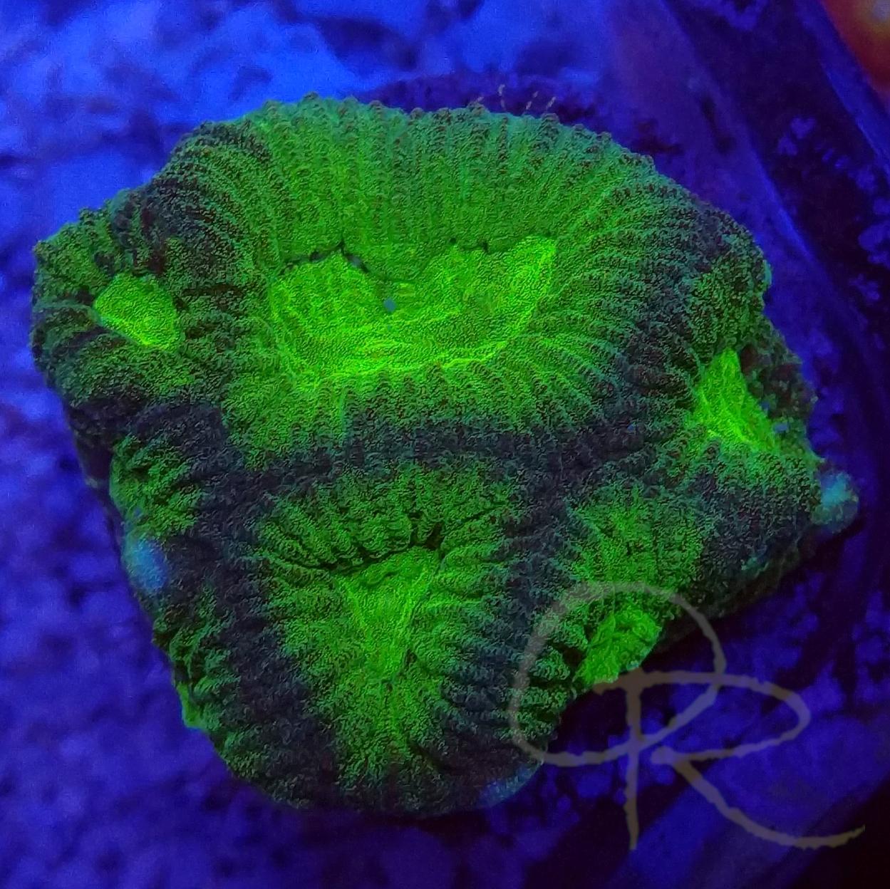 Brain Coral (Favia sp.) – Bright Green
