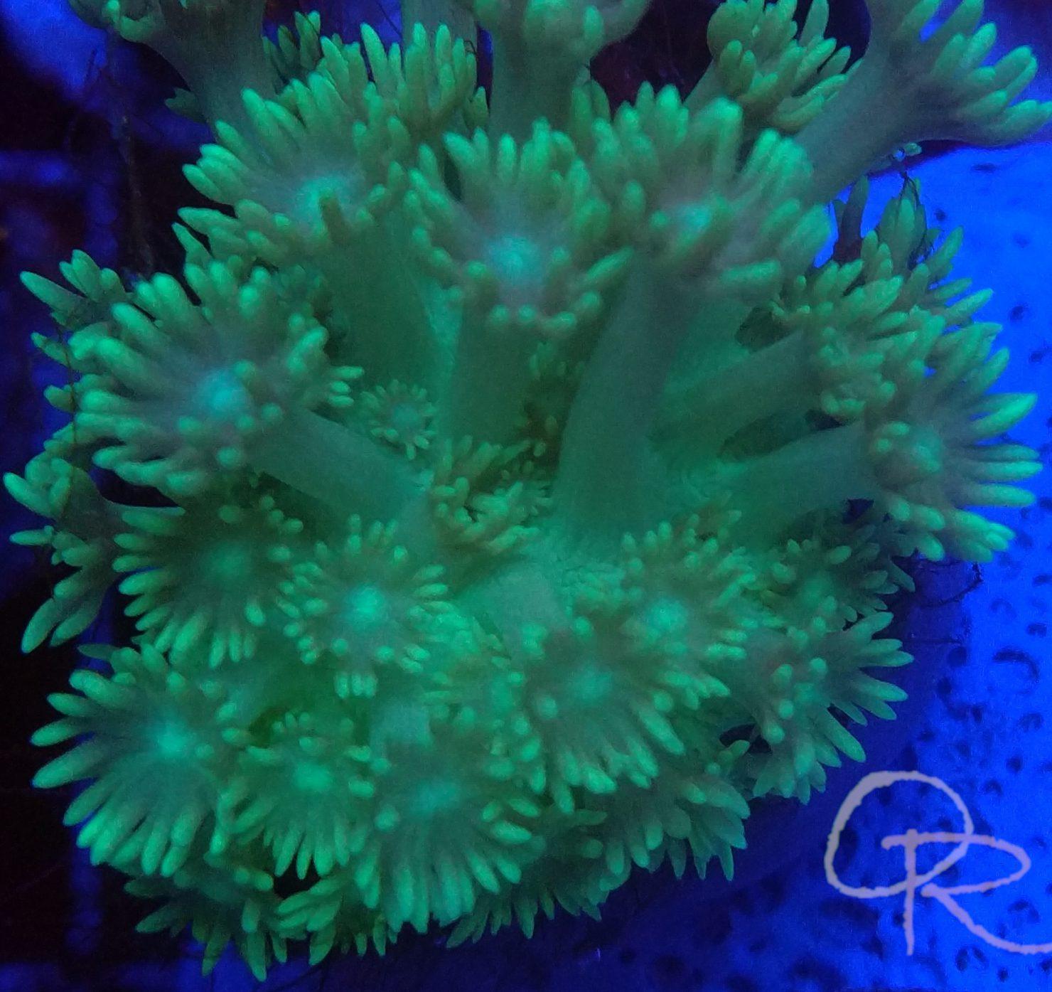 Goniopora – Metallic Green
