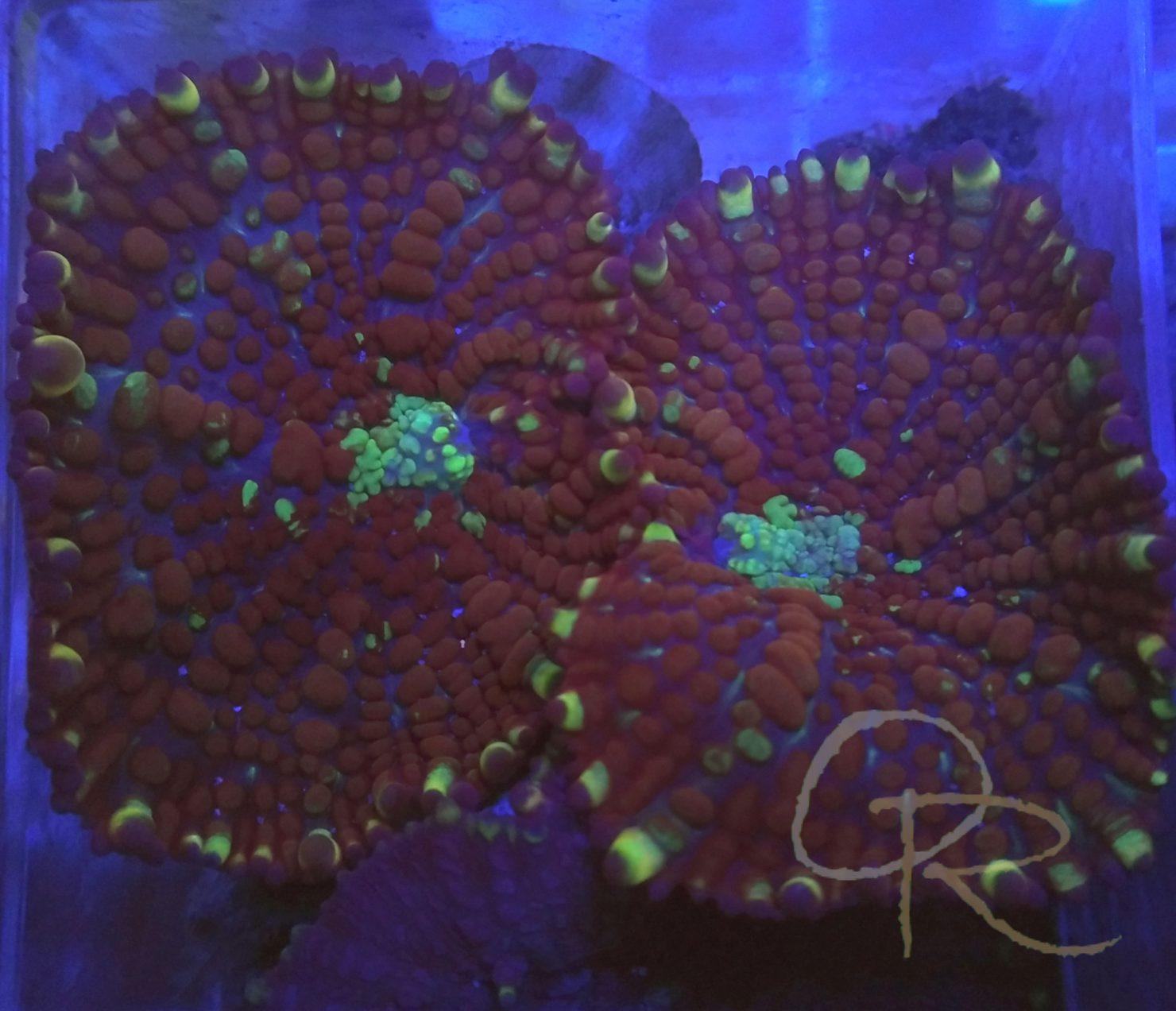 Bullseye Mushroom – Red & Green