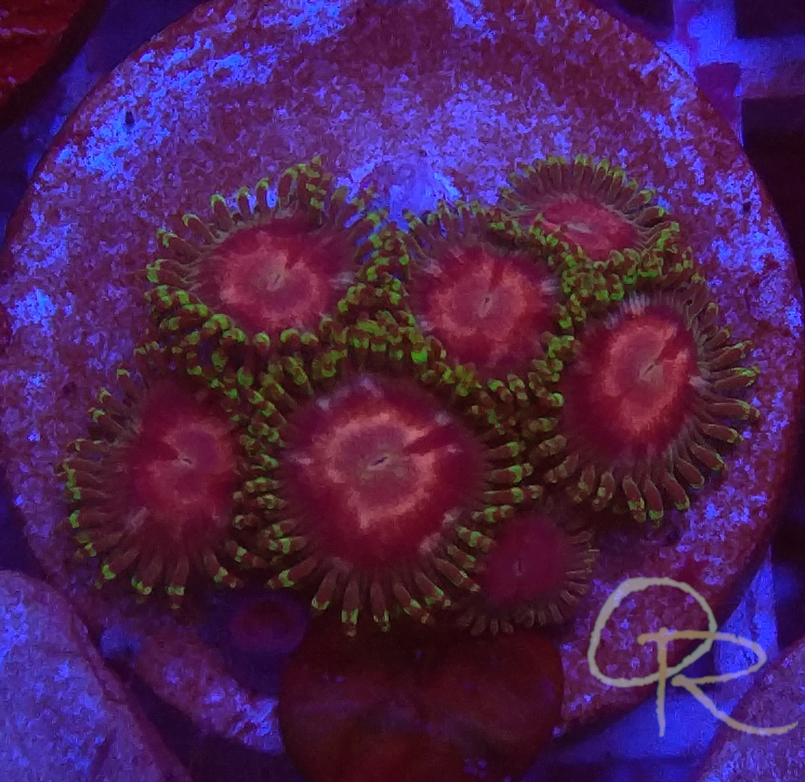 Zoanthids – Ghost Halos