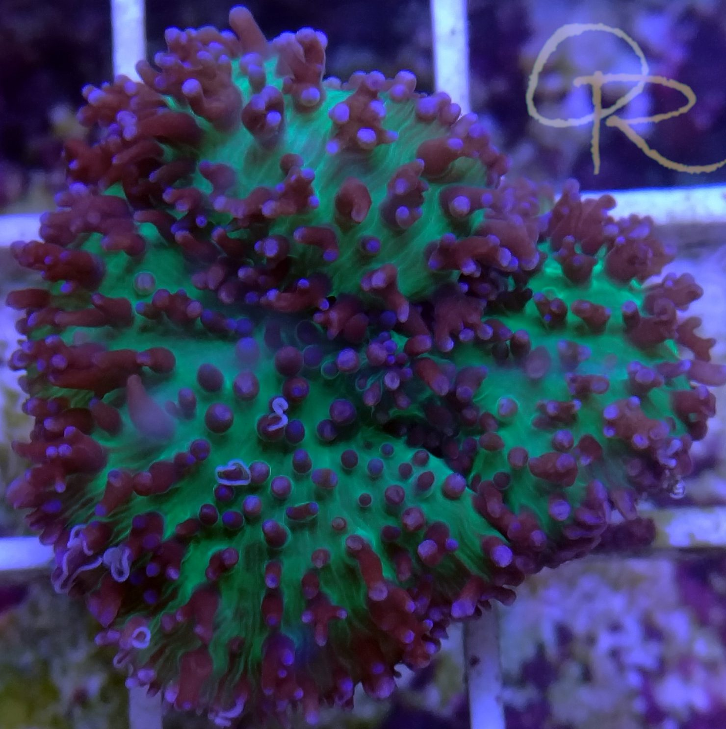 Hairy Green & Purple Mushroom Coral