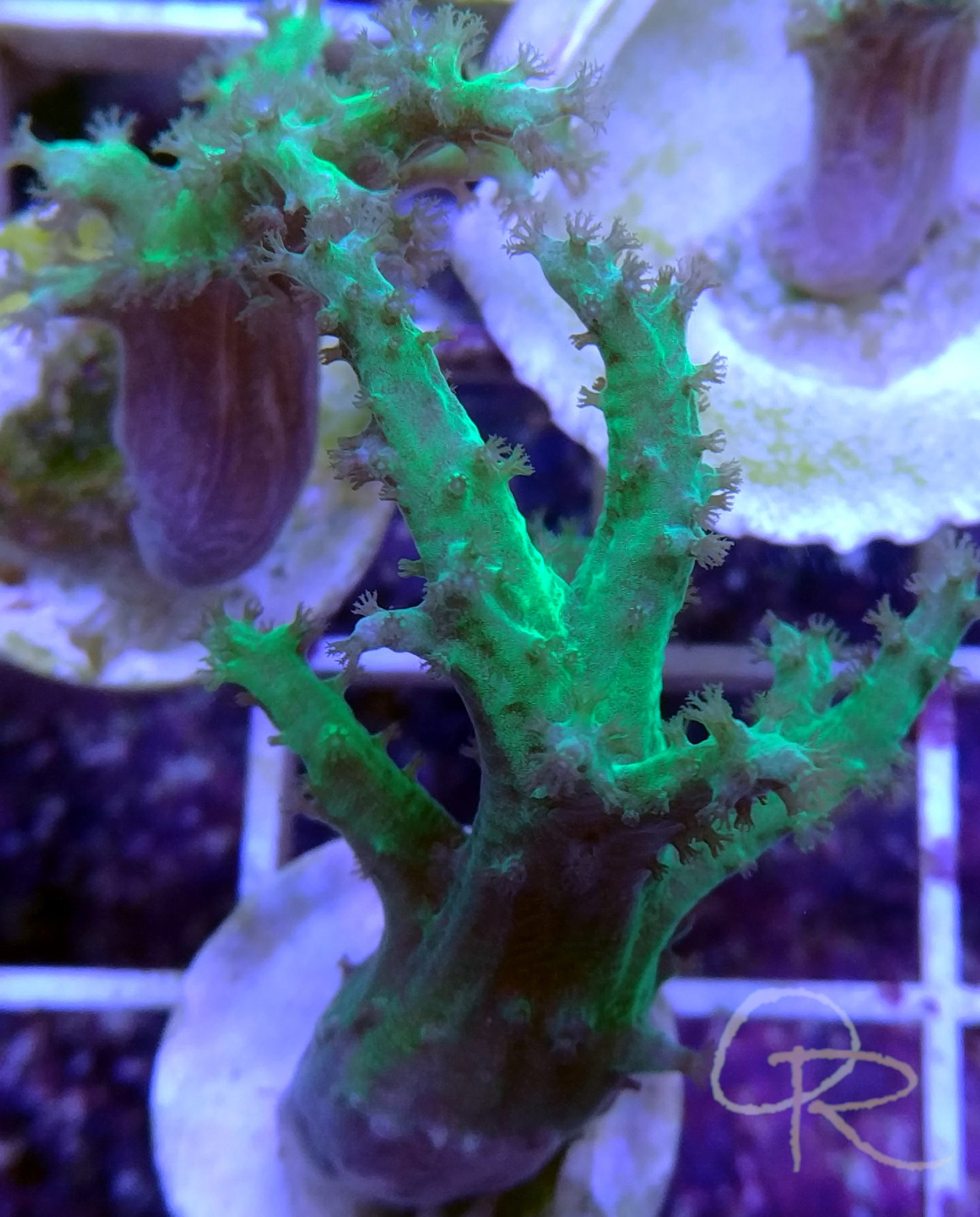 Sinularia – Bright Green