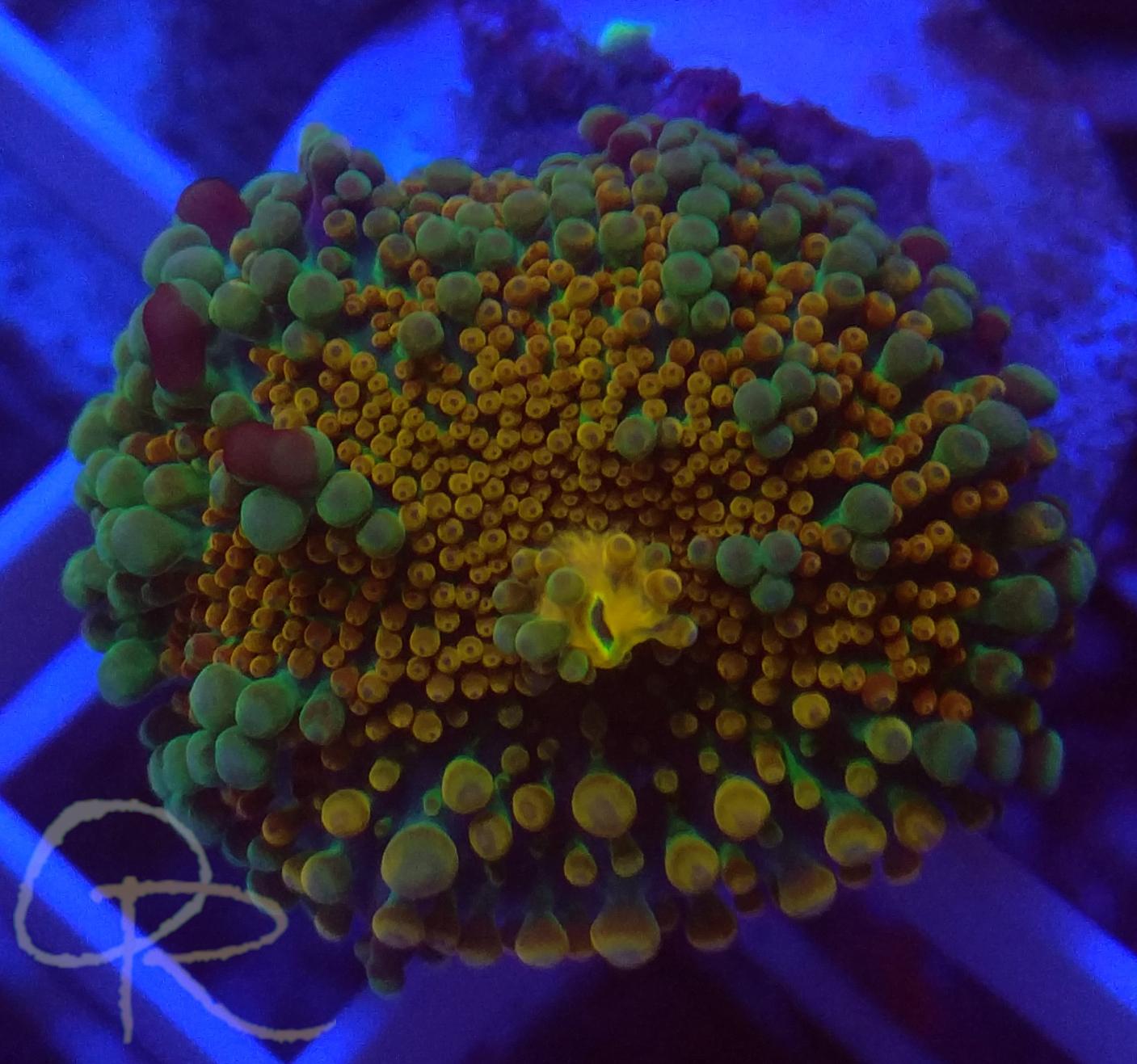 Ricordia Mushroom – Rainbow