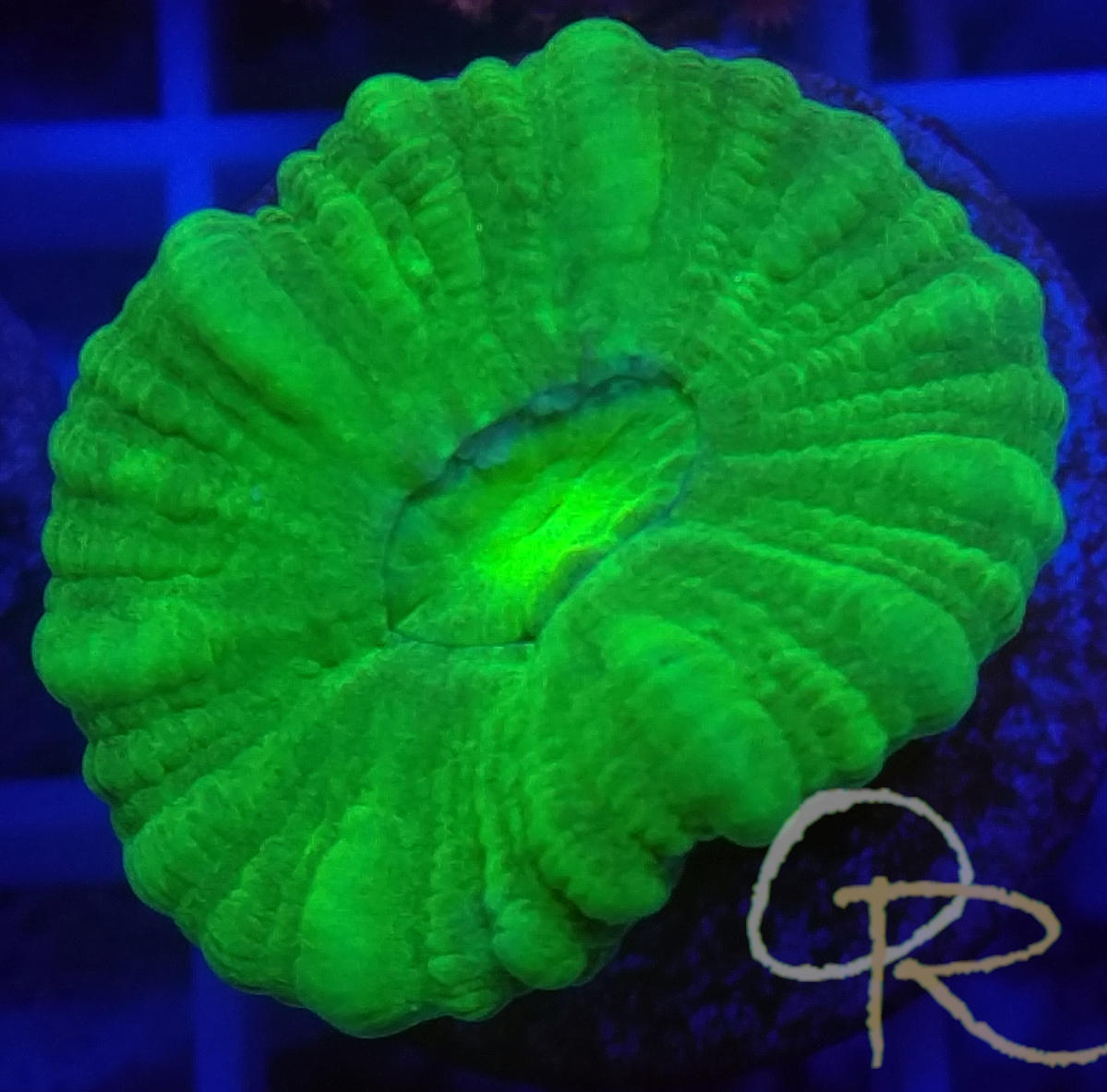 Candy Button Coral – Ultra Green