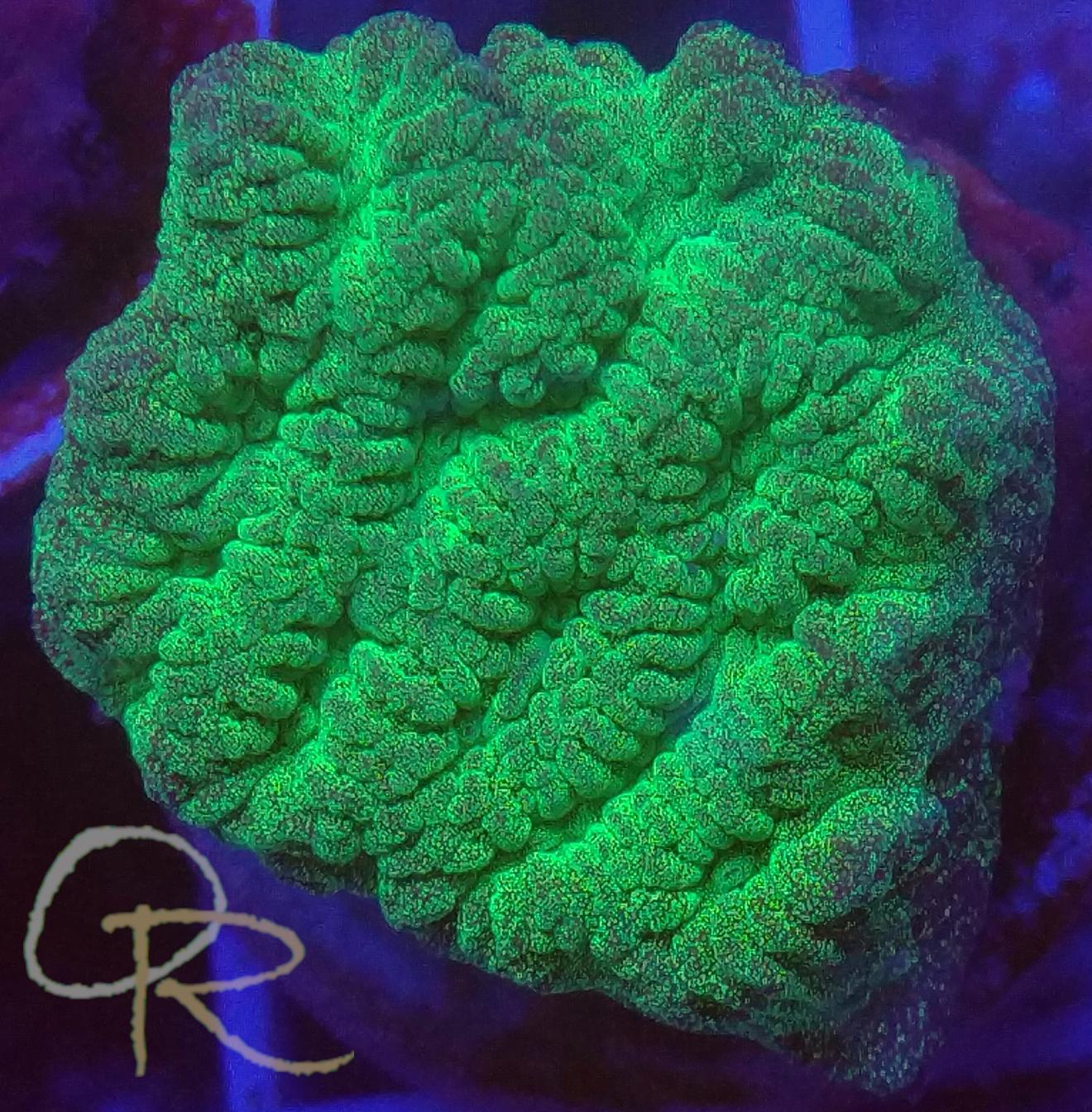 Ruffled Coral (Merulina sp.) – Ultra Green
