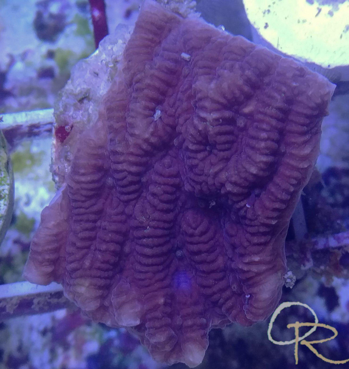 Ruffled Coral (Merulina sp.) – Purple