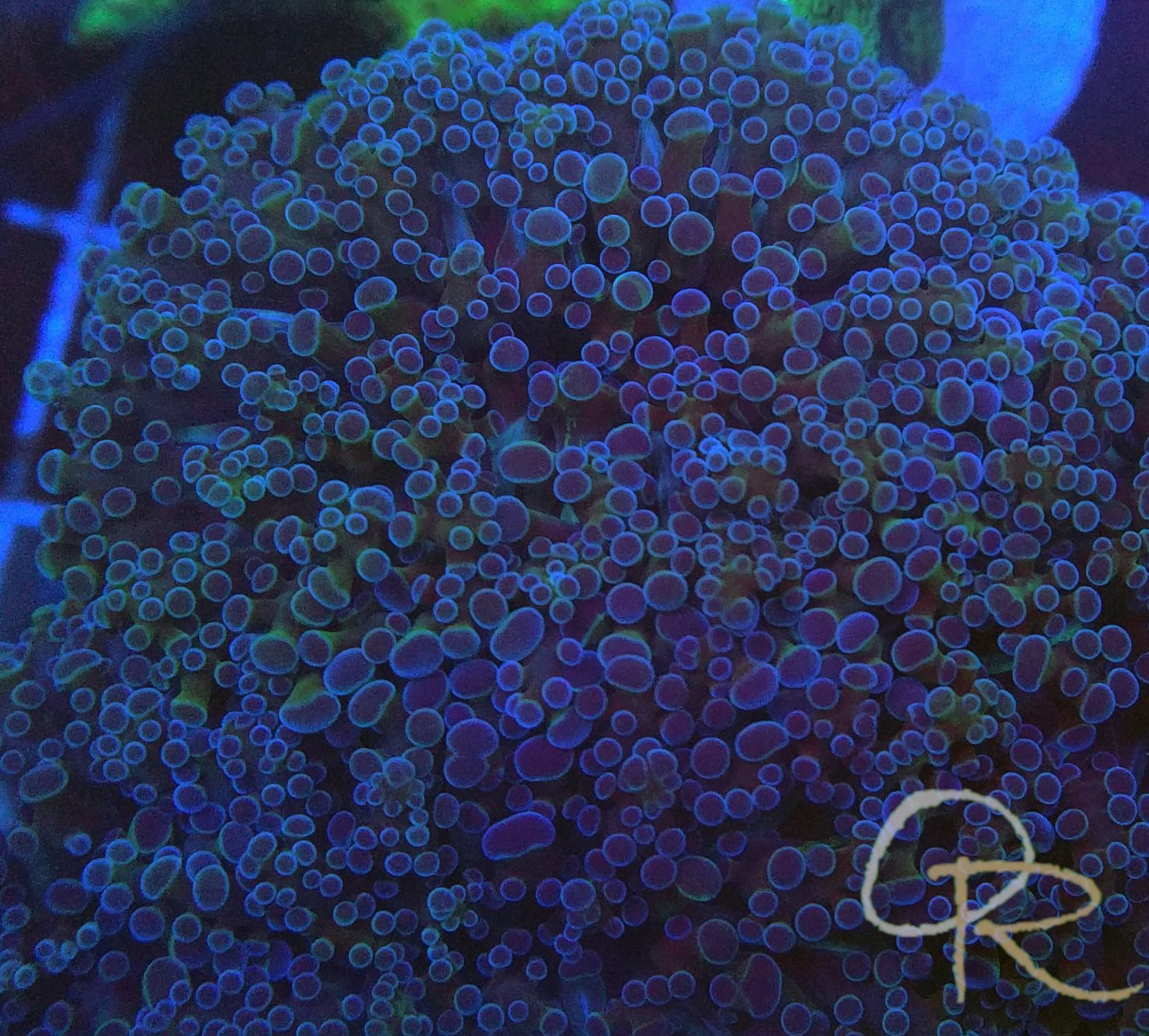 Frogspawn Coral – Purple with Green Highlights
