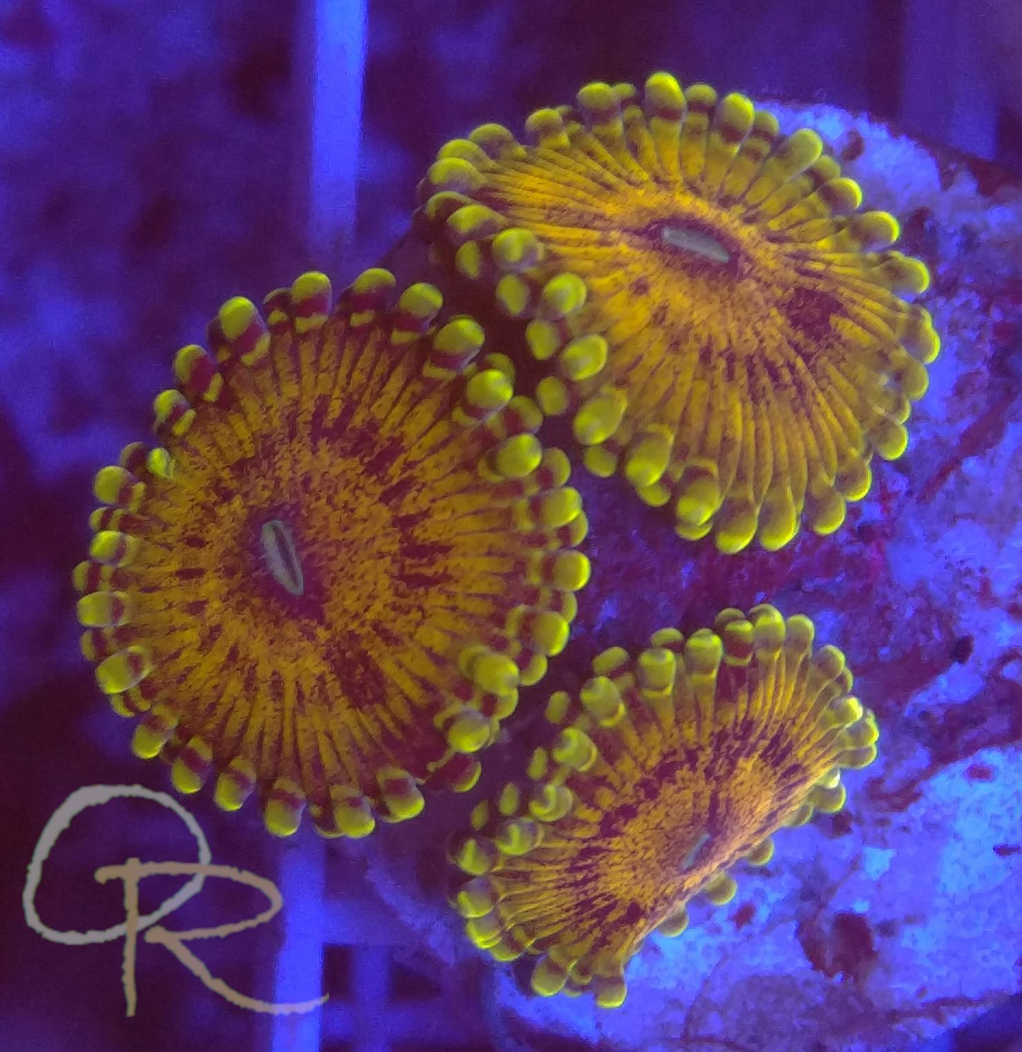 Zoanthids – Gold Mauls