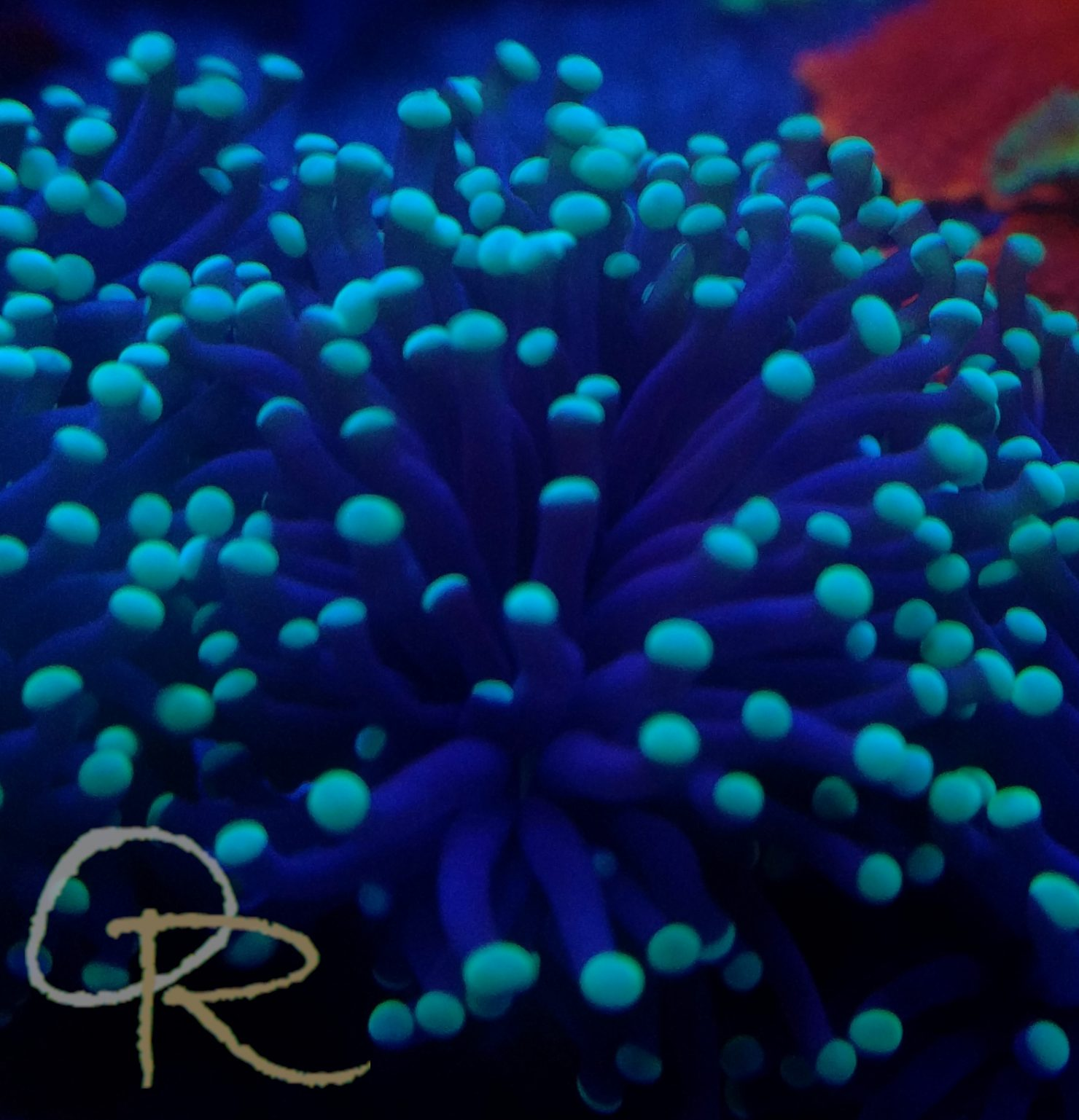 Torch Coral – White-Tipped