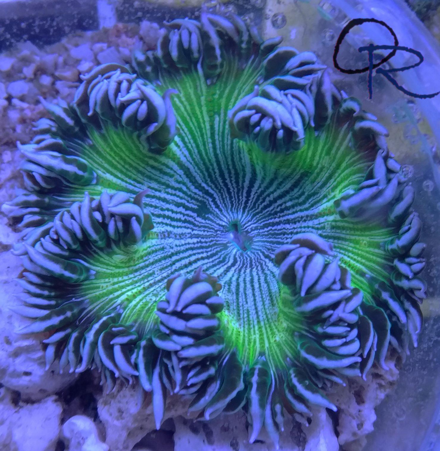 Rock Flower Anemone – WYSIWYG 5.2