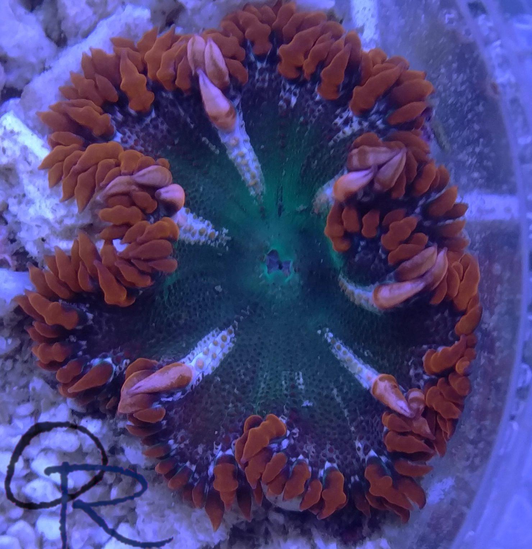 Rock Flower Anemone – WYSIWYG 5.3